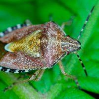 enviro-cinchbug